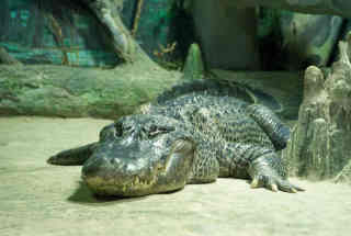 hitlers_alligator_mississippiensis.jpg